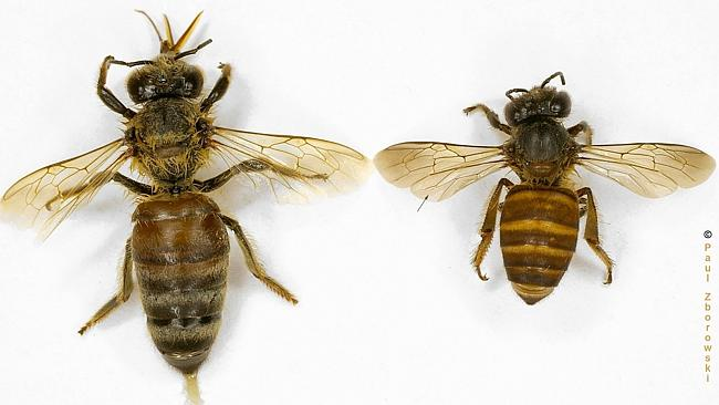 The European honey bee (Apis mellifera) is on the left; the Asian honey bee (Apis cerana) on the right. Photo by Paul Zborowski