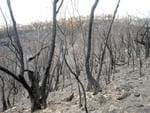 Fire damaged trees on OneTree Hill - Kersbrook road in Humbug Scrub. Photo: Tom Huntley