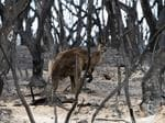 January 5, 2020: A lone kangaroo surveys the decimated landscape on Kangaroo Island after fires tore through bushland. Picture: AAP/Emma Brasier