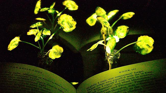 Scientists create glow in the dark plants