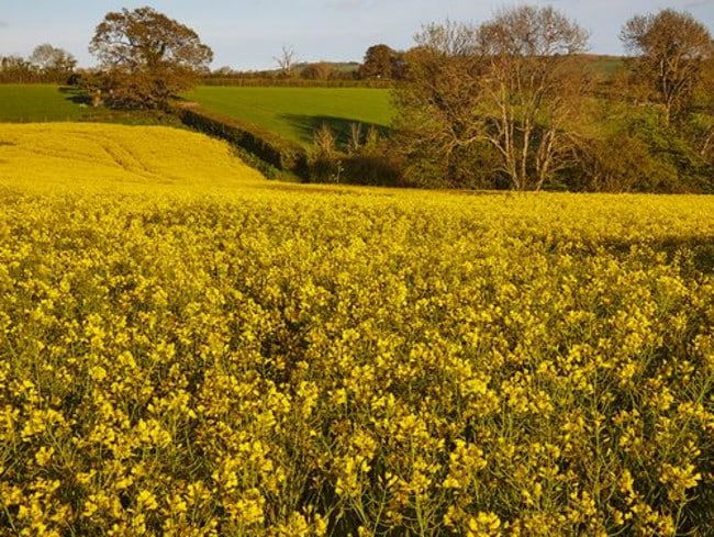 Plant ... The paint was named after the oilseed rape plant. Picture: Getty.