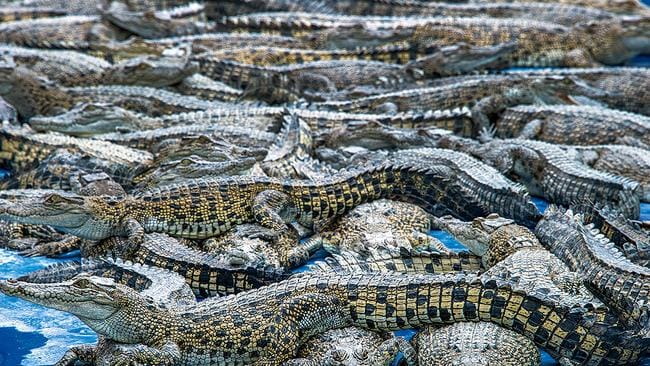 Louis Vuitton and Hermes turn our saltwater crocodiles into