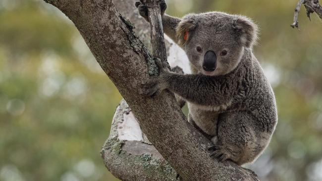 Koalas are expected to disappear from the wild in NSW by 2050.