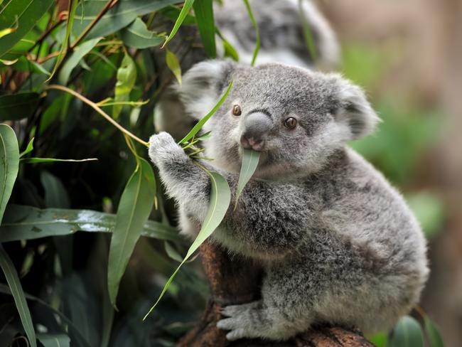 Heidi Cuschieri said the heat had caused the koala to find a water source elsewhere, as the eucalyptus leaves they usually get their water from, had all dried up.