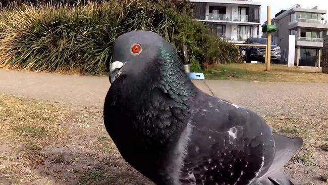 Meet Oscar the pigeon. Picture: Barry Ion