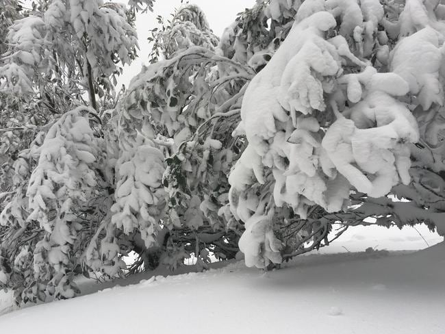 Heavy snow fell at Mt. Baw Baw this week, knocking over trees and forcing the closure of roads. Picture: Mt. Baw Baw Resort