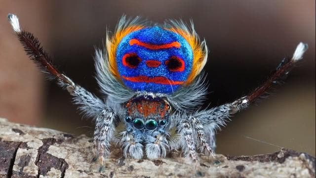 The incredible Peacock Spider
