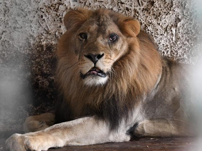 Lenci the lion suffers from a proliferation on the conjunctiva of his left eye. Picture: Gent Shkullaku/AFP