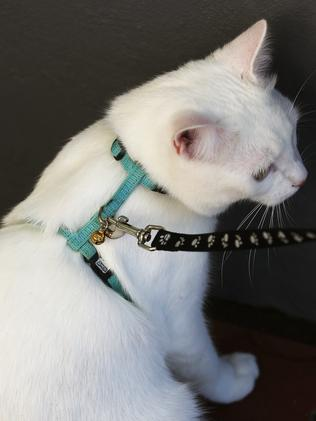 Cats Walking On Leads A Growing Trend In Sydney Daily