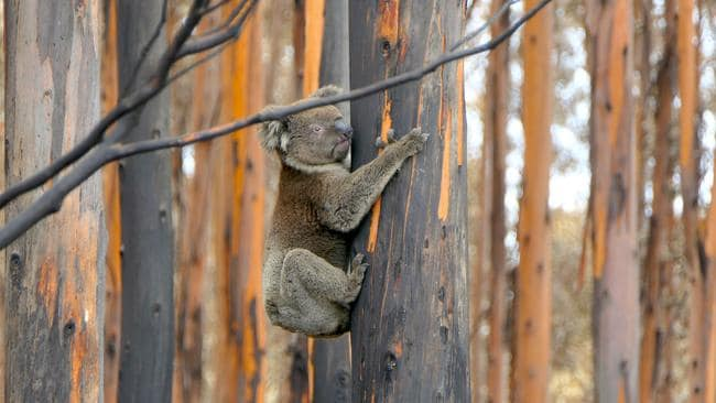 Koalas are left in the wild if possible. Picture: Max Uechtritz. Source: Channel 7