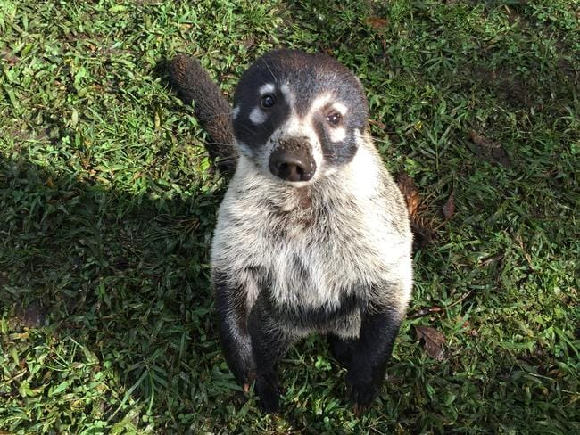 An extra friendly coatimundi poses for the camera at Monteverde. Picture: Gary Burchett