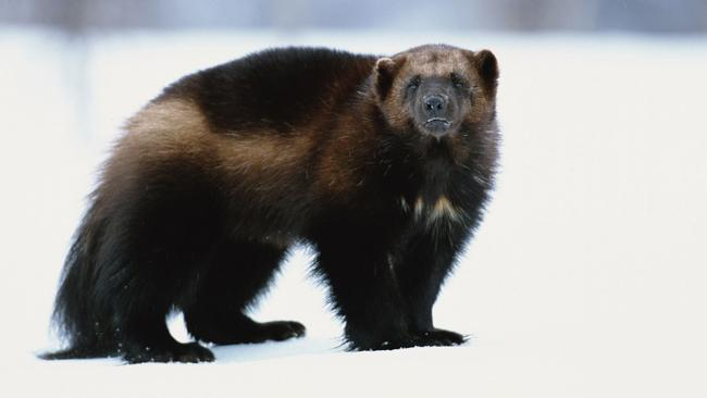A real life wolverine. Picture: Planet Earth