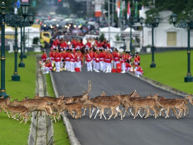 Deer walk past Indonesia's honour guard as they wait for the arrival of Saudi Arabia's King Salman bin Abdul Aziz at the presidential palace. Picture: AFP/Pool/Achmad Ibrahim