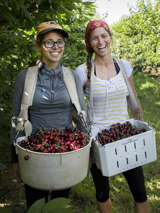 Cynthia and Jeanne fruit picking in NSW while backpacking around Australia. Picture: Kim Storey