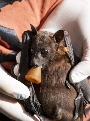 An orphan flying fox gets nursed at Tolga Bat Hospital. Picture: Kerry Trapnell