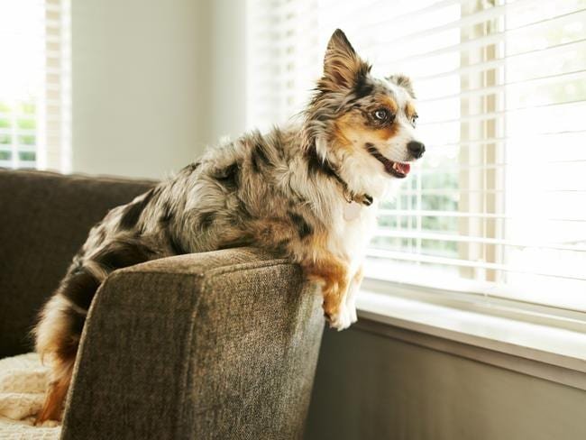 If it's not safe to evacuate pets, don't leave them in rooms with large windows. Picture: istock