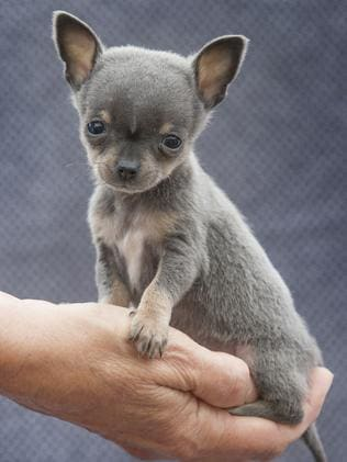 Teacup chihuahuas: Breeder explains why they're so expensive