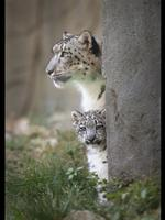 A three-month-old snow leopard cub is watched over by his mother as he prepares to make his public debut at the Brookfield Zoo in Brookfield, Illinois. There are an estimated 3,500 to 7,000 of the endangered leopards remaining in the wild. Picture: AFP