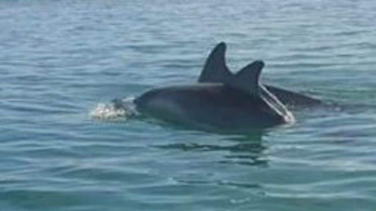 Dolphins Delight Kayaker Off Port Noarlunga, South Australia