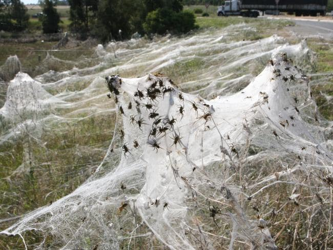 The spiders stuck around for a while after 'ballooning' into the area. Picture: Brad Newman