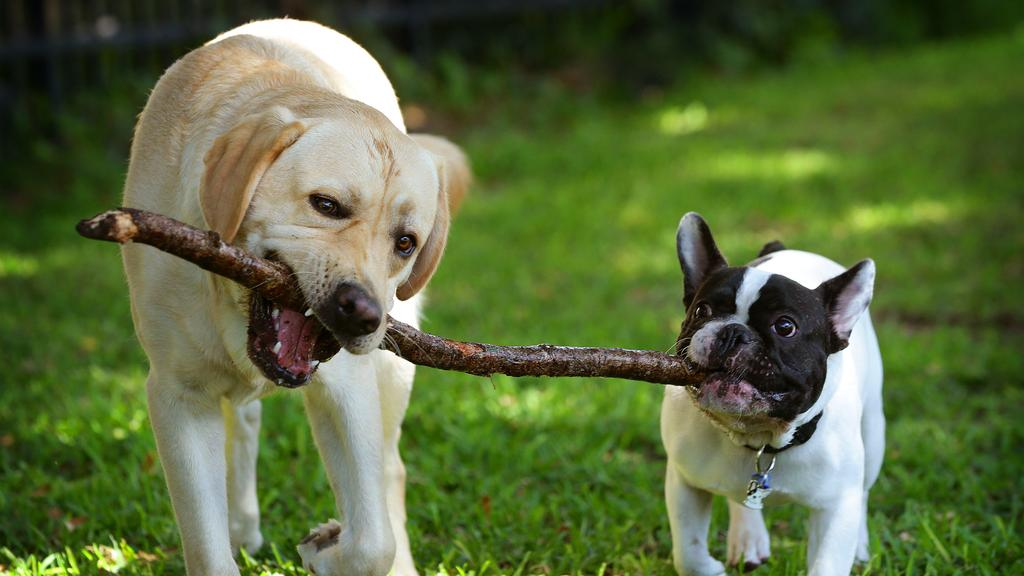 Dogs and chewing go together like butter and Vegemite. Picture: Liam Kidston.