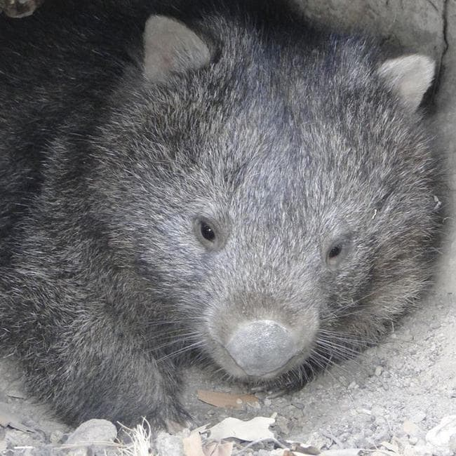 Yolandi Vermaak suspects that one wombat drank most of the 27L of water in only five day. Picture: Wombat Rescue/Facebook