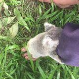 Baby Koalas Start Learning to Climb. Credit - Facebook/Magnetic Island Koala Hospital via Storyful