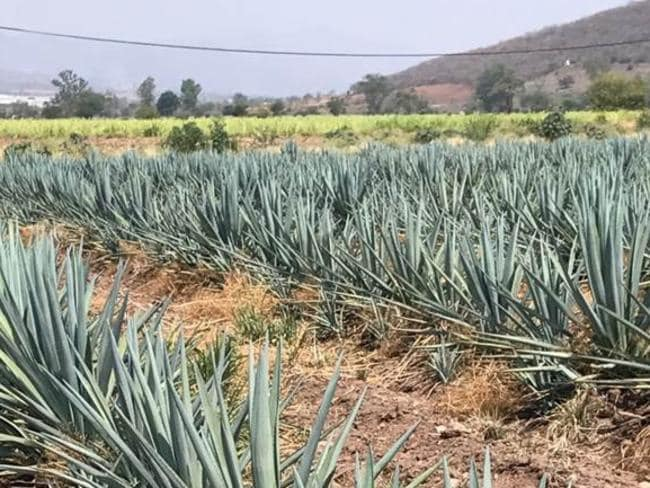 A shortage of the agave plant in Mexico has thrown the tequila industry into crisis. Picture: Supplied