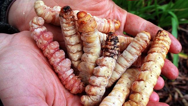 Eating witchetty grubs is now frowned upon due to their key role in a delicate native eco system.