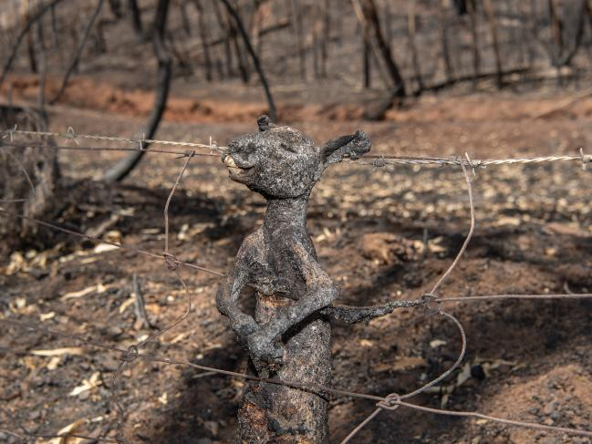 A juvenile kangaroo tragically caught on a fence trying to escape the devastating Cudlee Creek fire in South Australia. Locals Terry Reardon and Joan Gibbs managed to save their Fox Creek Rd property although the entire area around was burnt, killing hundreds of native animals. Picture: Brad Fleet