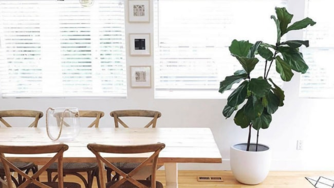 Fiddle Leaf Fig. Photo: Instagram