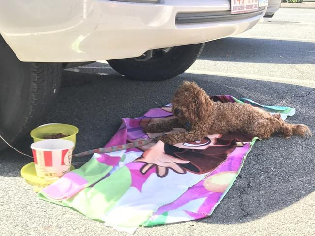 One poodle was found abandoned by its owners in the carpark.