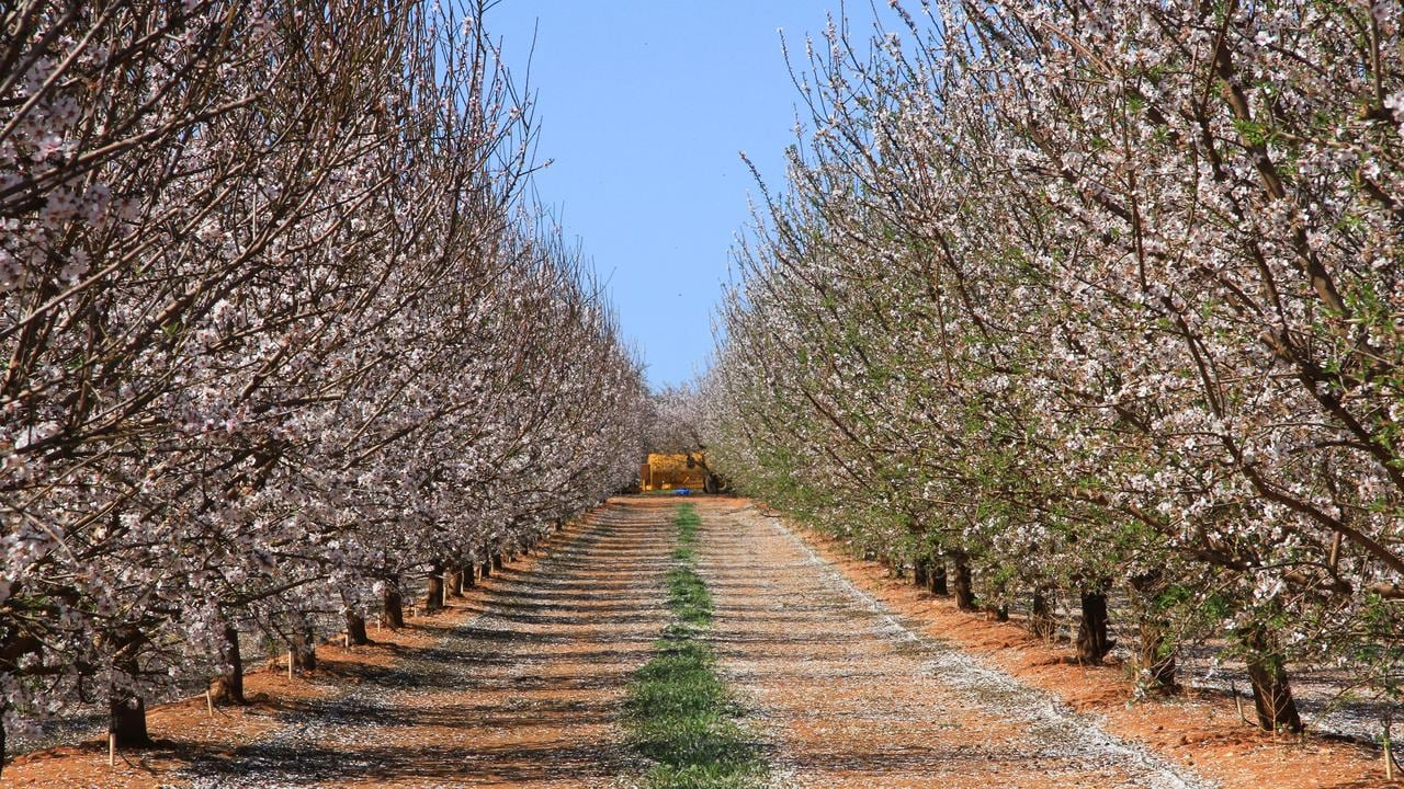 Almond orchard in blossom at Merbein, near Mildura, Victoria. Almonds are a booming industry along the Murray River. Picture: Glenn Milne