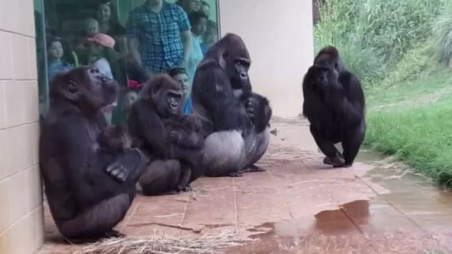One gorilla can be seen looking up at the rain as the rest try to stay dry.