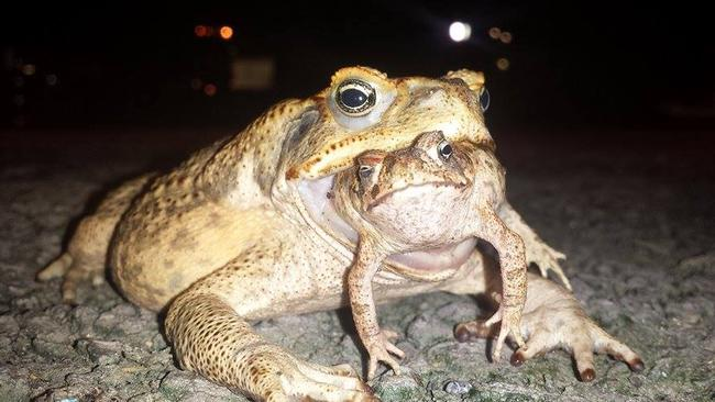 NT News reader Scott Murray captured this monstrous cane toad eating another cane toad earlier this year. If they were big enough they would definitely have a crack at a human, according to a bloke we spoke to down at the pub.