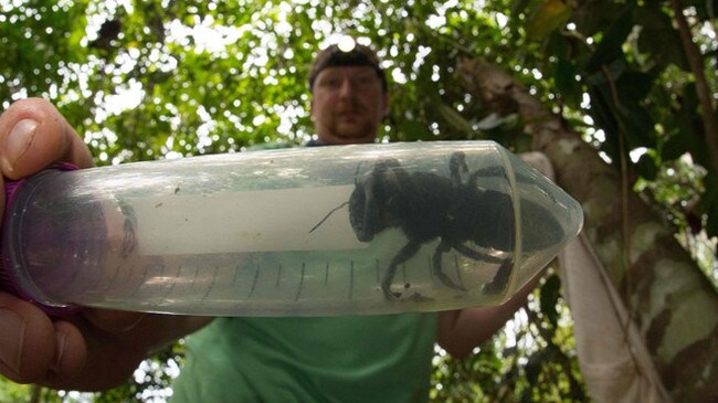 The giant bee found in the North Moluccas islands.