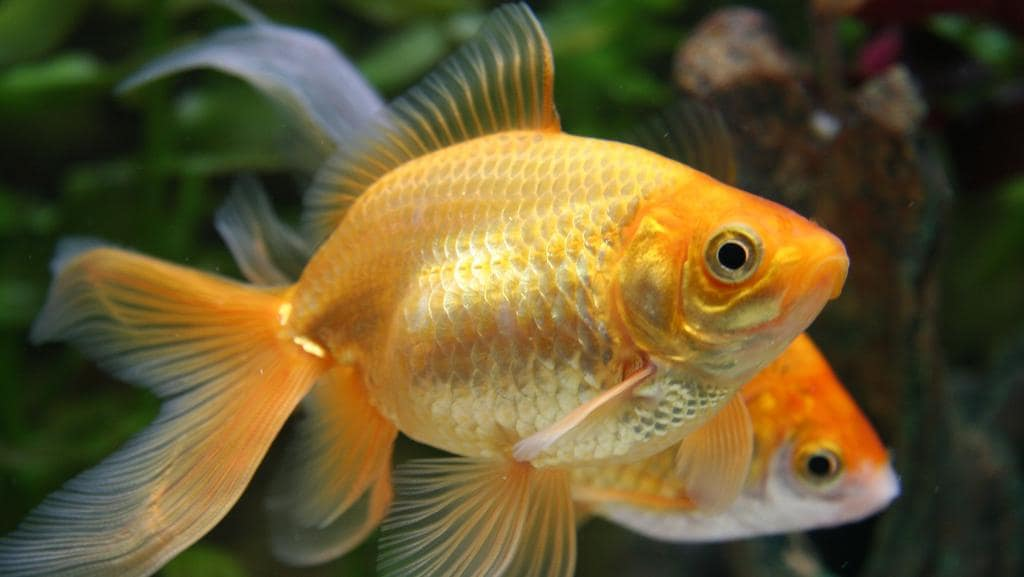 Fish: Why you should never flush one dead or alive down the