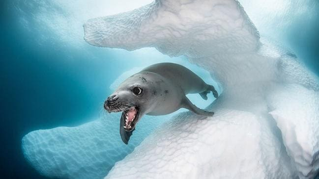 Crab-Eater Seal by Greg Lecoeur, which was shot in Antarctica, won best of show. Picture: Greg Lecoeur/Underwater Photography Guide