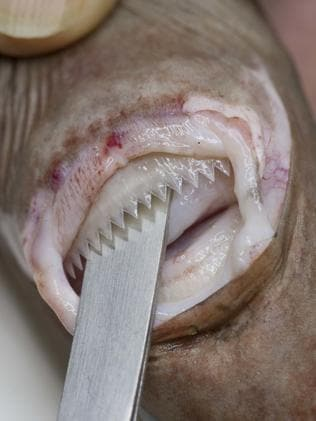 Sharp teeth of the cookie cutter shark. Picture: Rob Zugaro