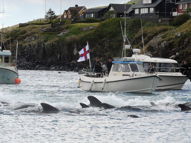The whales are driven towards the shore, seen in this file photo from May 2019. Picture: Andrija Ilic/AFP