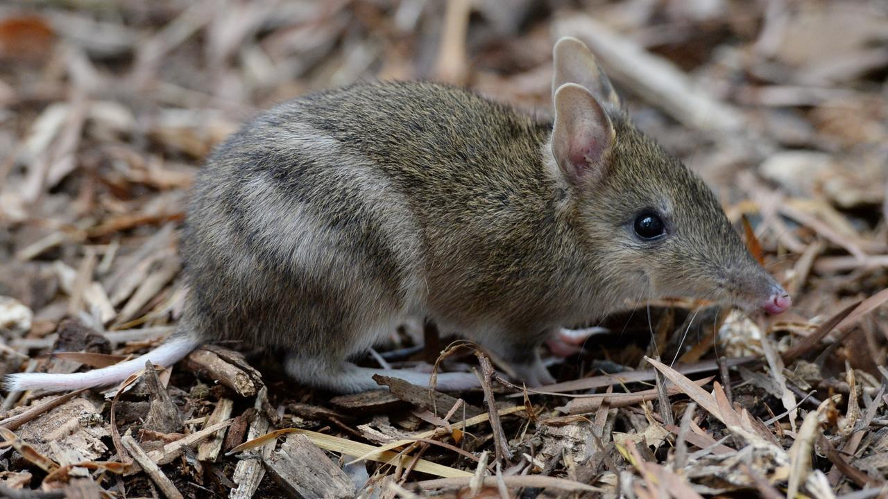 An eastern barred bandicoot being hand raised at Melbourne Zoo as part of a breeding program to save the species from extinction.