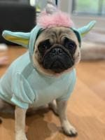 14/02/2019 - Lou Lou is a Pugicorn in training. Picture: Pauline Overton