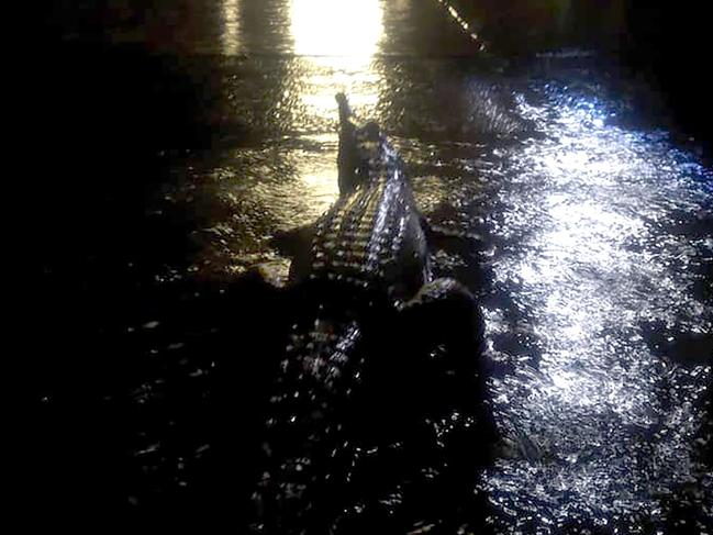 One of the crocodile's displaced during the floods in Townsville. Picture: Erin Hahn/AFP)
