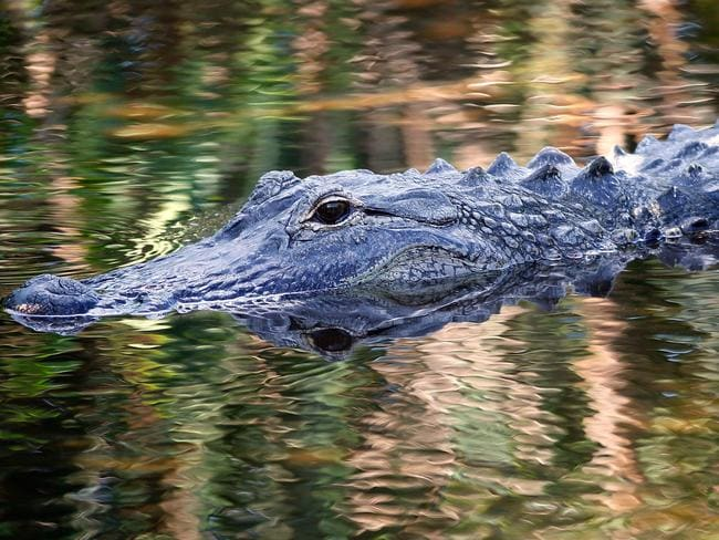 There are 1.5 million alligators in Florida. Picture: Rhona Wise/AFP