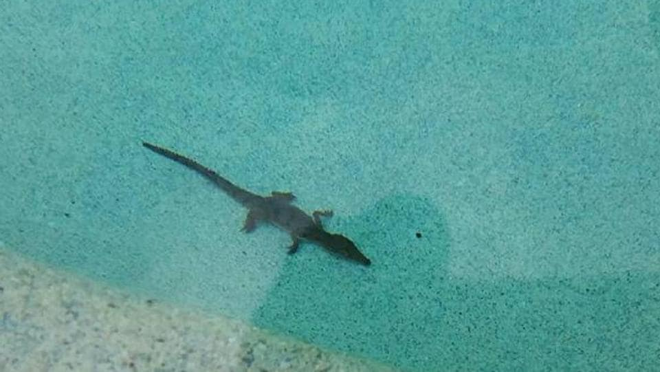 Pool owner s shock to find crocodile in townsville swimming pool townsville bulletin for Can babies swim in saltwater pools