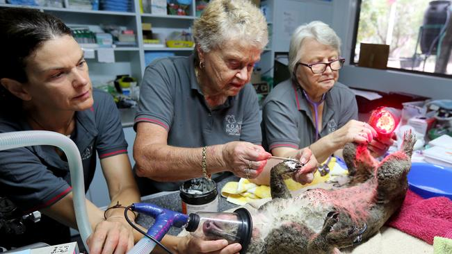 A koala being treated at Port Macquarie Koala Hospital. Photo: Nathan Edwards/Getty Images