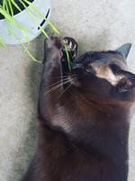 This is my purebred Burmese Zelda and it's her first taste of cat grass and she loves it. Picture: Casey-Maree Munchkin Marek.