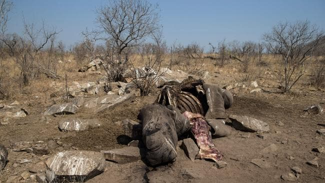 The carcass of a female white rhino in the Malelane area of the Kruger National Park. It was shot dead by poachers on August 16, 2018 and discovered by rangers on August 17, 2018. Picture: Wikus de Wet