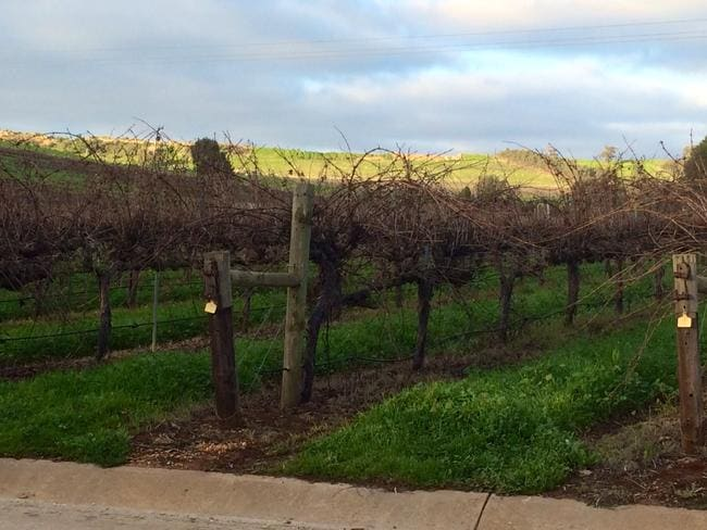 The average age of the vines at Sevenhill is around 40 years old.