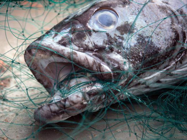 Horror ... A toothfish — know as 'white gold' by poachers — caught in the illegal gillnet left by the Thunder. Picture: Jeff Wirth / Sea Shepherd Global